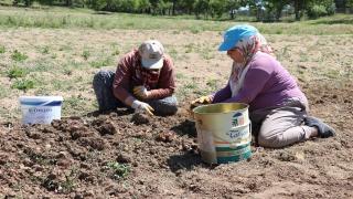 """""""Mucize bitki"""" safranın soğanında hasat zamanı"""