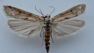 Ağrı Dağı'nda yeni bir kelebek türü tespit edildi