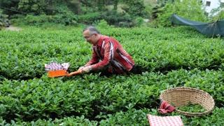 """Rize Valisi Çeber: """"Kente gelmek isteyen çay müstahsili sayısı 36 bine ulaştı"""""""