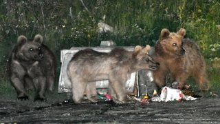 Mahalleye inen bozayı ailesi çöp konteynerlerine dadandı