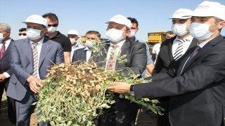 Şırnak'ta yer fıstığı üretiminde rekor artış