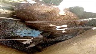 Bodrum'da tarlada otlarken kuyuya düşen inek kurtarıldı